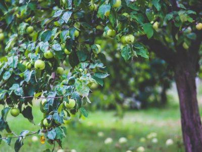 Growing The Future: Grafting Fruit Trees / Cwrs Impio Coed Ffrwythau